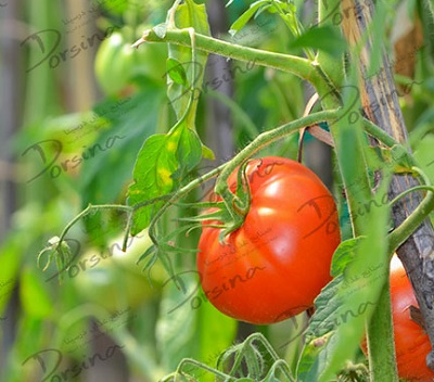 فروش گوجه فرنگی تازه